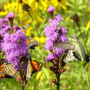 Minnesota Native Plants for Landscaping